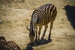 Le zèbre en parc de zoo, peau a modelé des rayures Photographie stock libre de droits