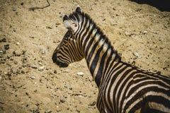 Le zèbre en parc de zoo, peau a modelé des rayures Images libres de droits