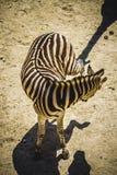 Le zèbre en parc de zoo, peau a modelé des rayures Image stock