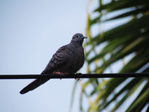 Le zèbre a plongé striata de Geopelia, colombe paisible ou colombe barrée de la terre, oiseau de famille de columbidae, oiseau d' Photo libre de droits