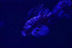 le zèbre Poisson-à ailes flotte profondément dans l'eau propre Photographie stock