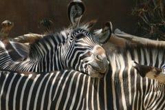 Le zèbre pousse du nez - le zoo de Los Angeles Photographie stock libre de droits