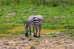 Le zèbre a repéré le pâturage dans la région sauvage photo libre de droits