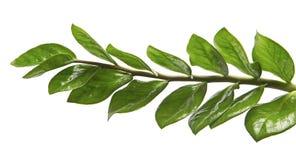 Le zamiifolia ou l'Emerald Palm de Zamioculcas part, feuillage brillant frais d'isolement sur le fond blanc Photographie stock