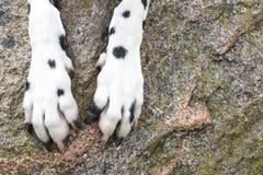 Le zampe del cane sono sulla struttura di pietra Fotografie Stock