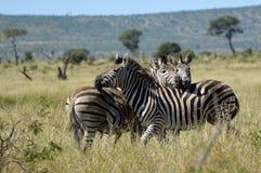 Le zebre di Burchell (burchellii della quagga di equus) Immagini Stock