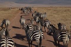 Le zebre lungo la via in Ngorongoro parcheggiano, la Tanzania Immagini Stock