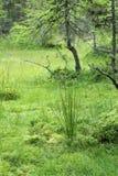 Le zone umide erba e paralizzato l'albero di larice Immagine Stock
