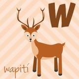 Le zoo mignon de bande dessinée a illustré l'alphabet avec les animaux drôles Alphabet espagnol : W pour le wapiti illustration de vecteur