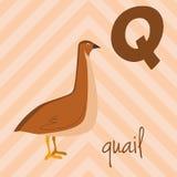 Le zoo mignon de bande dessinée a illustré l'alphabet avec les animaux drôles : Q pour des cailles Photo stock