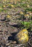 Le zucche hanno danneggiato da grandine Immagine Stock Libera da Diritti