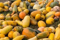 Le zucche sono mature Immagine Stock