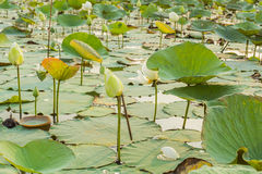 Lea lotus will bloom. Lea lotus with lotus leaves, lotus and lotus Stock Images