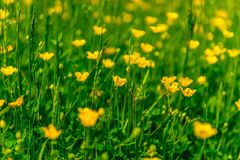 Lea z żółtymi kwiatami Fotografia Royalty Free