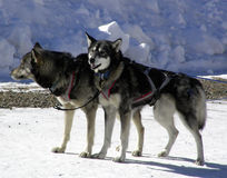 Lead Dogs. Alaskan sled dogs at the front of their dogsled team Royalty Free Stock Images