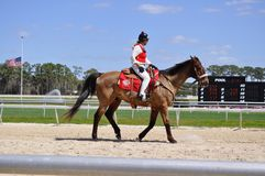 Lead horse walking the horses to the starting line at the Tampa Bay Downs track. Royalty Free Stock Photos