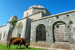 Lead Mosque in Shkoder, Albania. Cow munching on some grass outside the Lead Mosque in Shkoder, Albania royalty free stock images