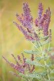 Lead plant (Amorpha canescens Pursh) Stock Photo