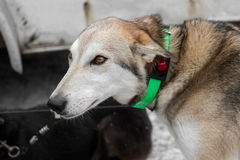 Lead Sled Dog with Lighted Collar Stock Photos