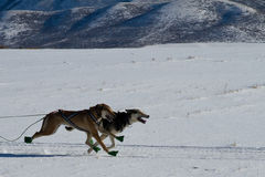 Lead sled dogs at the Rocky Mountain Sled Dog Cham royalty free stock photography