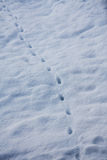 Lead the way. Pawprits from predator in snow. going towards you Royalty Free Stock Image