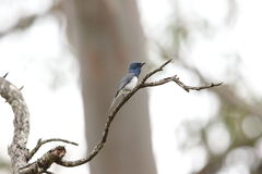 Leaden Flycatcher. (Myiagra rubecula) in Australia Stock Photos