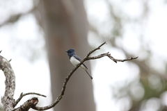 Leaden Flycatcher. (Myiagra rubecula) in Australia Royalty Free Stock Image
