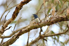 Leaden Flycatcher. (Myiagra rubecula) in Australia Royalty Free Stock Images
