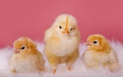 Leader chicken Royalty Free Stock Photography