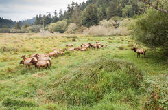 Leader of the Elk Herd Royalty Free Stock Photo