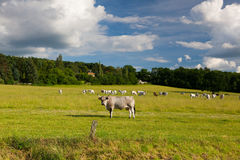 The leader of herd cows on a summer pasture Stock Images