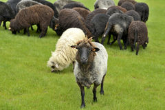 The leader of the herd sheep standing out Stock Photos
