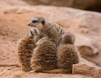 Leader of meerkats. Photo taken in the zoo Royalty Free Stock Photography