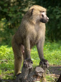 The leader of monkeys Royalty Free Stock Image