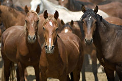 Leader of the pack. The leader of a herd of wild horses stands guard stock images