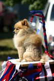 The leader of the pack. A pomeranian getting a lift during the rodeo parade Stock Photos