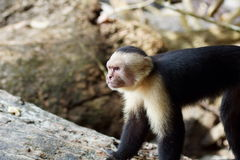 Leader of the Pack. Cebus capucinus, white-headed capuchin, white-faced capuchin, white-throated capuchin. Cebus capucinus in the rain forest of Costa Rica stock image