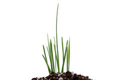Leader in the pack--grass. One blade stands out among the group of grass growing in healthy dirt Royalty Free Stock Photos