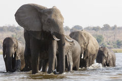 Leader of the pack. A matriarch female leads the family of elephants to safety and food while crossing a river on the Choebe in Botswana Royalty Free Stock Photography
