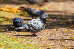 Leader pigeon Stock Photo