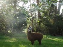 Alpaca. He is a leader of sheep because he ran into a paddock first Stock Image
