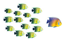 Leadership concept - big fish leading Stock Images