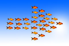 Leadership concept with group of golden fish follow the same direction with their leader