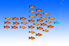 Leadership concept with group of golden fish follow the same direction with their leader Stock Photography