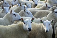 Leading the flock. Close up of a tightly bunched  flock of sheep with two ewes looking to camera Royalty Free Stock Photos