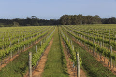 Leading lines in lush green vineyard Royalty Free Stock Image