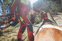 Leñador que corta y que mide un árbol en bosque Fotografía de archivo libre de regalías