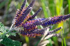 Free Leadplant Blooming Flowers In The Prairie Field At The Sunny Summer Day. Amorpha Canescens In Fabaceae Bean Family. Pollinators Royalty Free Stock Photo - 154834745