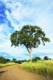 Leadwood (Combretum imberbe) Royalty-vrije Stock Afbeelding