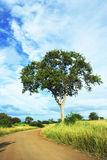 Leadwood (Combretum imberbe) (9685) Royalty Free Stock Image